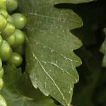 grapes_vine_1280px
