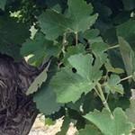 vines-713×182