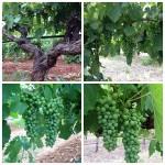 vineyard-visit