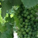 vineyard-visit-grapes-22122014