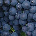 vineyard-visit-grapes-v2
