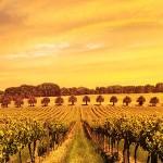 vineyard3_1280x300