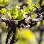 vines-1280×300