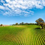 vineyard-360×283
