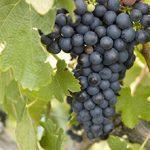grape-bunch-360px