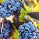 autumn harvest on wineyard valley. agriculture man harvesting gr