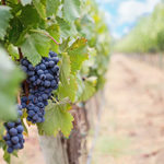 vineyard-360