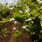vineyard-soil-2-1280×300