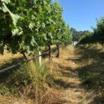 Figure 1. Ryegrass undervine cover crop suppressing kikuyu in a McLaren Vale vineyard (courtesy of Troy Elliker, Gemtree)