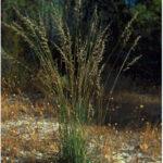 Figure 2. Perennial veldt grass (photo courtesy of HerbiGuide)