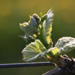 grapevine-bud